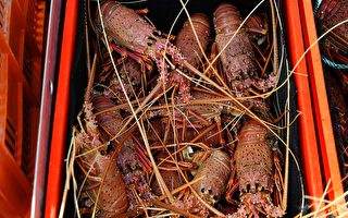 澳洲龙虾经香港游回中国餐桌 对港出口增20倍