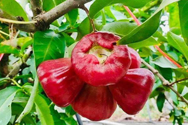 中共突禁台湾水果 蔡英文:违反国际贸易规范