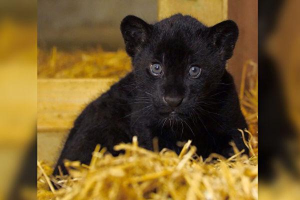 全身純黑 英國保護區喜迎稀有美洲豹幼崽