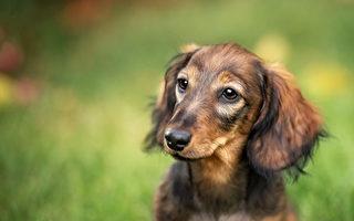 研究:狗狗天生就准备好了与人类互动