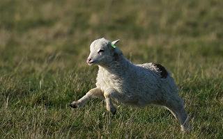 160只羊羔首次从查塔姆群岛飞到纳皮尔