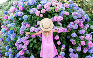 讓繡球花開得奪目 五大栽植雷區請繞道