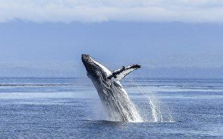惊险!美国男子被鲸鱼误吞口中 又被吐出来