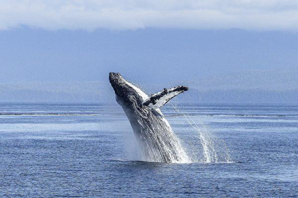 驚險!美國男子被鯨魚誤吞口中 又被吐出來