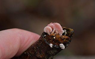 人們在斯圖爾特島發現會發光的蘑菇真菌