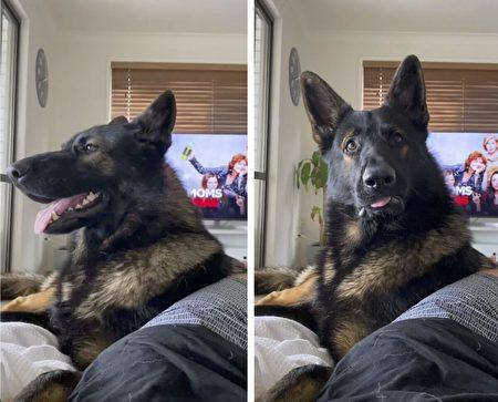 聽到主人說「可卡因」 退休警犬馬上一臉嚴肅