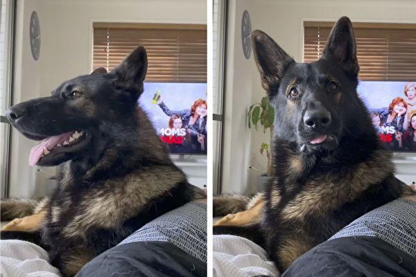 """听到主人说""""可卡因"""" 退休警犬马上一脸严肃"""