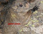 科学家发现鲜为人知的羊绒鼯鼠新种类