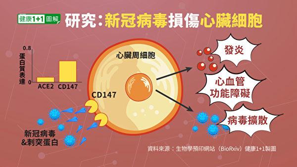 研究發現,新冠病毒和刺突蛋白本身,能夠損傷人的心臟細胞。(健康1+1/大紀元)