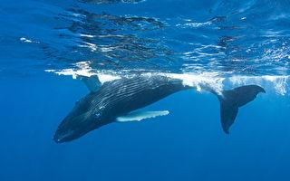 核子炸彈探測器找到罕見鯨魚