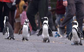 《企鹅小镇》影评:拍摄企鹅的纪录片 也能很有故事性