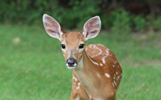 被小狗從湖中救起 小鹿隔天前來道謝
