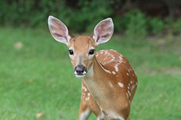 被小狗从湖中救起 小鹿隔天前来道谢