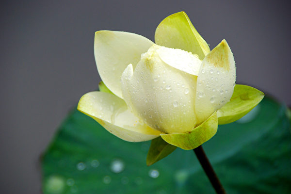 荷花,莲花