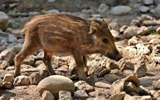 动物真聪明? 香港野猪和印度猴子搭乘地铁