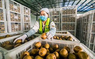 紐Zespri黃金奇異果遭中國山寨 產量恐被追上