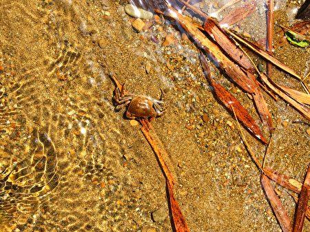 石牌坑沙河上的螃蟹。