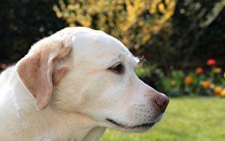 拉布拉多犬