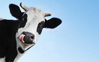 镇定牛自带疗愈本领 人们拥抱它来减压