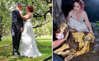 婚宴中途母牛难产 澳新娘穿着婚纱跑去接生