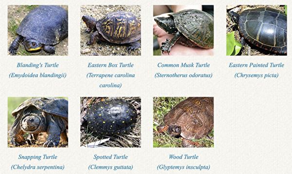 有人在野生龜殼作畫 新罕州籲停止