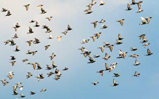 英国赛鸽比赛 上万只鸽子神秘失踪