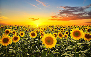 """研究显示植物也会""""日出而作"""""""