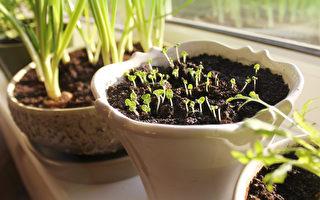 室内盆栽从种子开始种乐趣多 新手也驾轻就熟