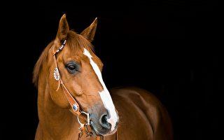 身高210公分 世界最高的馬在美國過世