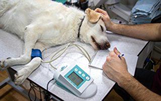 巴西流浪狗受傷 自己到獸醫診所求救