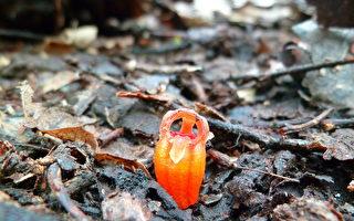"""珍稀""""仙女灯笼""""新植物藏身马来西亚雨林"""