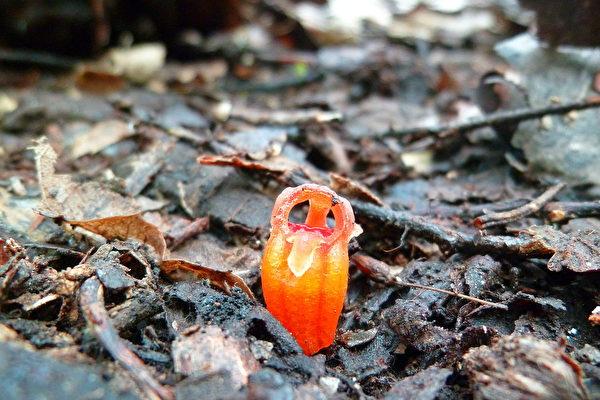 珍稀「仙女燈籠」新植物藏身馬來西亞雨林