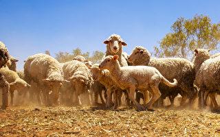 对澳洲羊毛需求强劲 中国成最大买家