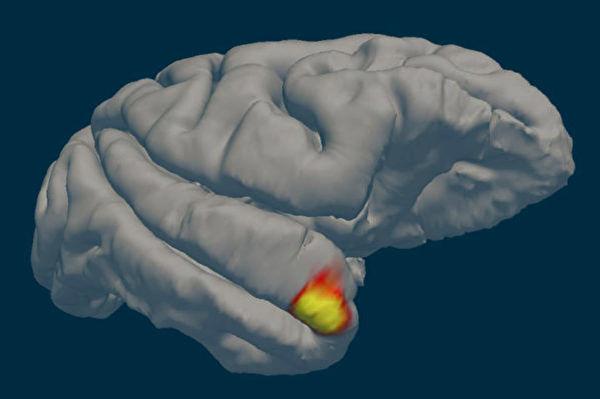 發現新類型神經元 兼具面部識別和記憶功能