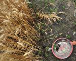 中國糧食隱患 習將種源安全升至國安高度
