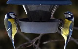 怪病感染鳥類 麻州籲居民停止餵鳥