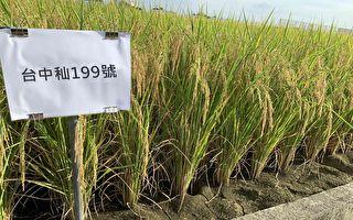 水稻台中秈199號亮麗登場  台灣農業之光