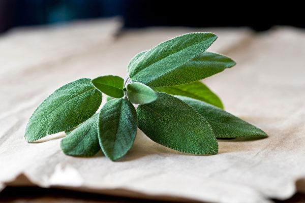鼠尾草也是提升记忆力的芳香药草。(Shutterstock)