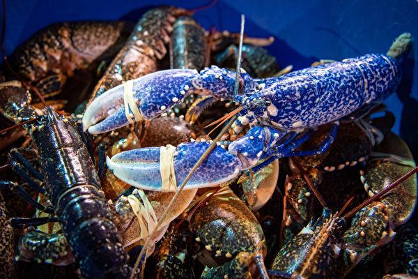 不小心成渔夫网中物 罕见龙虾幸运回大海