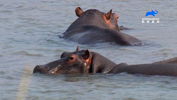 動物星球頻道 犀牛