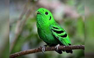 """70年前被宣布""""灭绝"""" 稀有绿阔嘴鸟再现踪"""