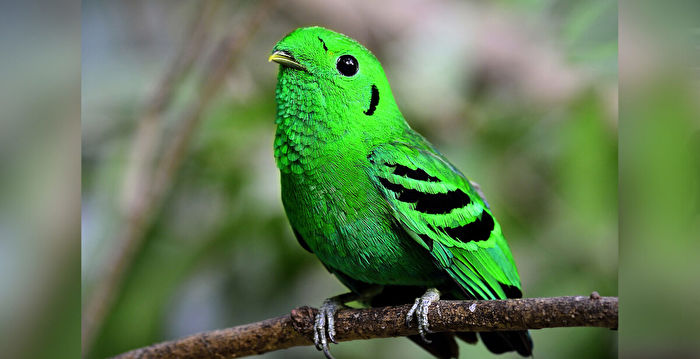 70年前被宣布「滅絕」 稀有綠闊嘴鳥再現蹤