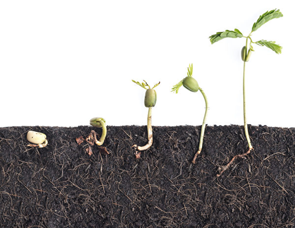 Growing,Plants,bean,Seed,Germination,Different,Stages,With,Underground,Root,Visible