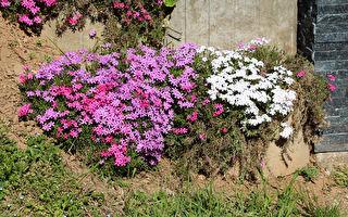 預約四季風情 9種後院好維護的地被植物