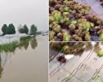 【一线采访】决堤又泄洪 河南种植户损失惨