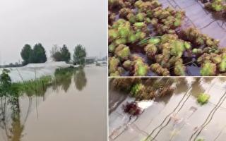 【一線採訪】決堤又洩洪 河南種植戶損失慘