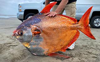唯一已知温血鱼类 罕见月鱼惊现美国海滩