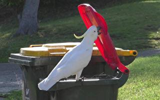 太聰明 澳洲鸚鵡會開垃圾桶覓食 還教會同伴