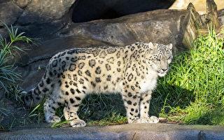 聖地亞哥動物園雪豹感染新冠病毒 或注射疫苗