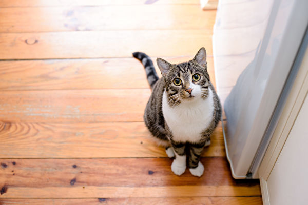 Portrait,Of,Domestic,Tabby,Cat,On,Floor